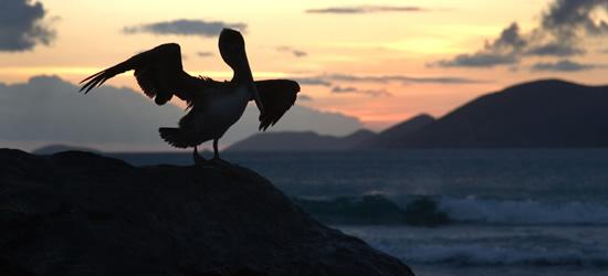 Un pellicano, Tortola