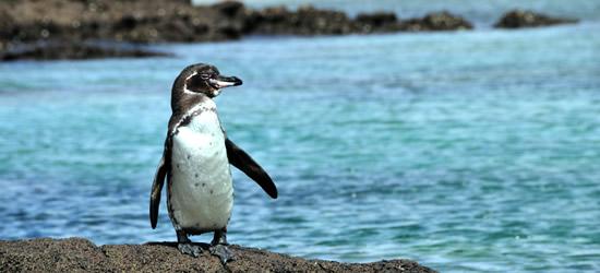El Pingüino de Galápagos