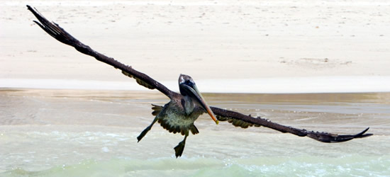 Pelícano de Galápagos