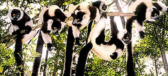 Una Familia de Lemurs