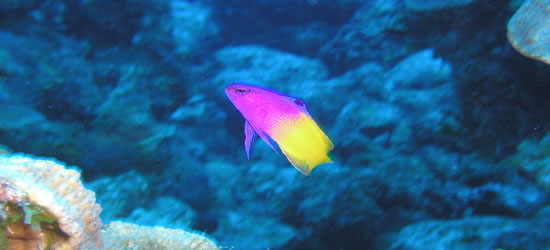 El Fairy Basslet multicolor