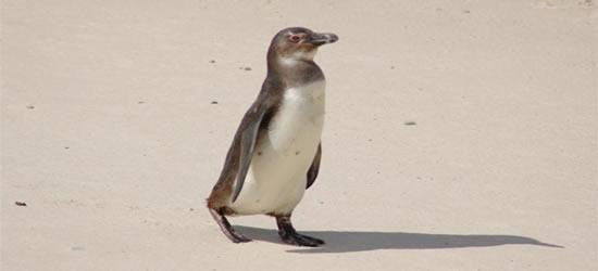 Pingüino sudafricano