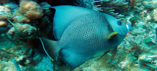 Angelfish azul
