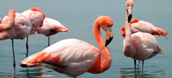 Flamingos rosados, isla de Floreana