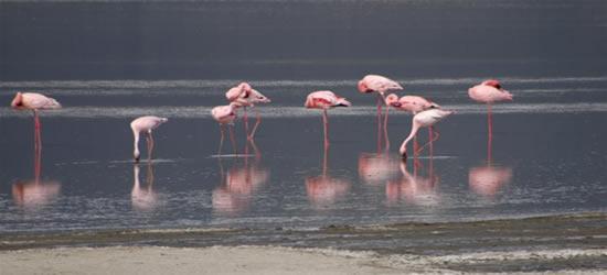 Flamingos rosas, Zanzibar