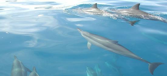Delfines de Tahití