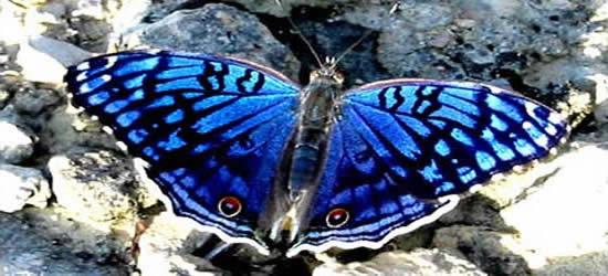 La Mariposa Junonia, Islas Radama