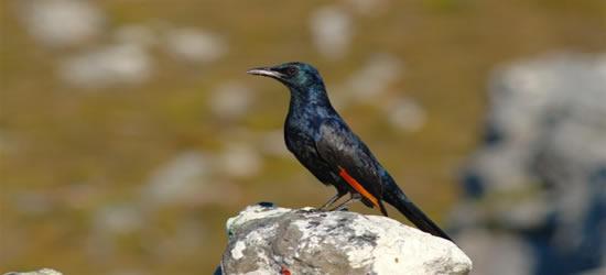 Aves coloridas de Ciudad del Cabo