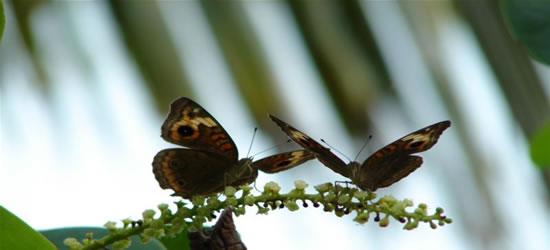 Dos mariposas Turcas y Caicos
