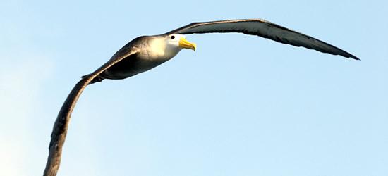 Albatros agitado, Galapagos