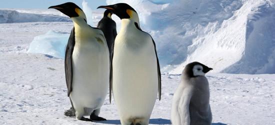 Pingüinos Emperador, Mar de Weddell