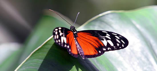 Mariposa tropical roja, Belice