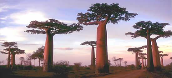 Arboles Baoab en Madagascar