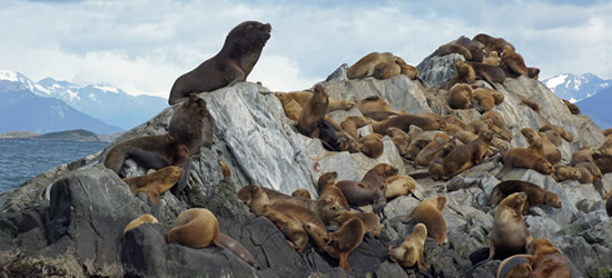Colonia de leones marinos, Canal Beagle