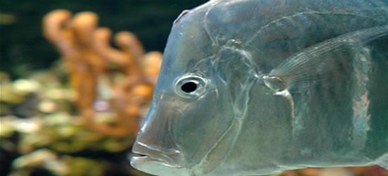 Increíble pescado en el acuario