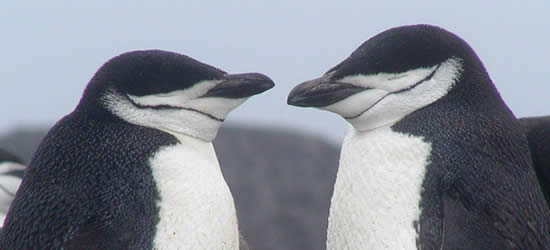Pingüinos cara a cara