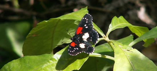 Mariposa tropical, Belice
