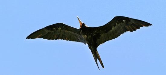 Pájaro de fragata