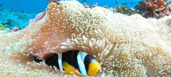 Peces de anémona, Seychelles