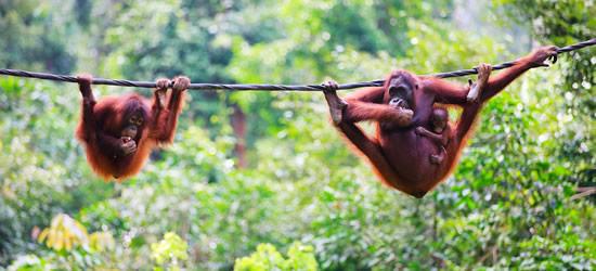 Madre, bebé y niño orangutanes de Sabah Borneo, Malasia