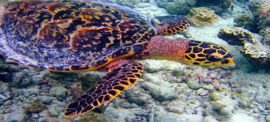 La tortuga carey, Maldivas