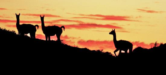Guanacos al atardecer, Patagonia