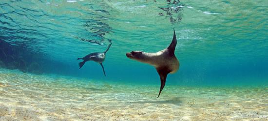 Leones marinos de las Galápagos