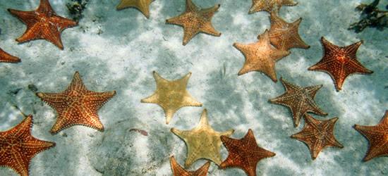 Estrellas de mar del amortiguador