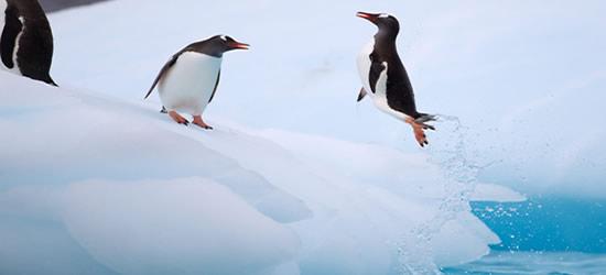 Pingüino Gentoo volando